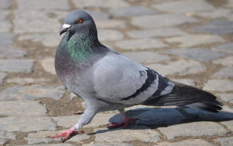 controle de pombos na grande porto alegre