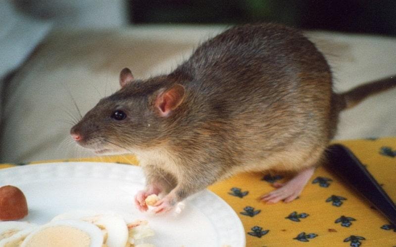 desratização 24h na grande porto alegre controle de ratos e roedores